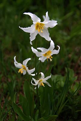 Photograph - White Wildflowers 4 by Robert Lozen
