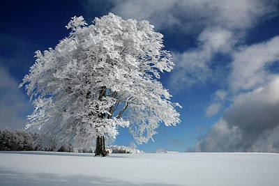 Winter Trees Photograph - White Windbuche In Black Forest by Franz Schumacher