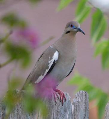 Photograph - White Wing Dove by Stefon Marc Brown