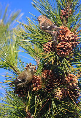 World War Two Production Posters - White Winged Crossbills in Pine Tree by John Burk