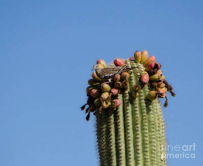 Photograph - White Winged Dove And A Saguaro Cactus by Donna Greene