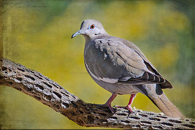 Photograph - White- Winged Dove by Barbara Manis