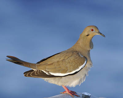 Photograph - White-winged Dove On Metal Rail by Bradford Martin