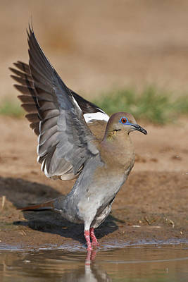 Wild Wings Photograph - White-winged Dove (zenaida Asiatica by Larry Ditto