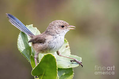 Photograph - White Winged Fairy Wren by Kym Clarke