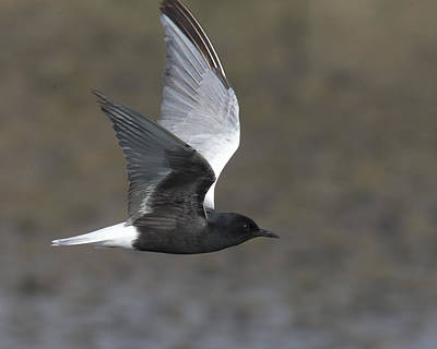 Photograph - White-winged Tern by Tony Mills