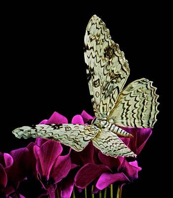White Witch Moth Resting At Midnight  Art Print by Leslie Crotty