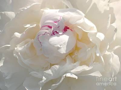 White With Red Peony Print by Addie Hocynec