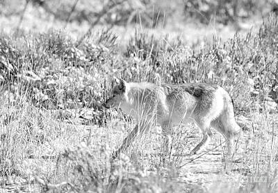 Photograph - White Wolf In Black And White by Deby Dixon