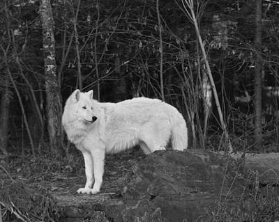 Photograph - White Wolf by Kate Purdy