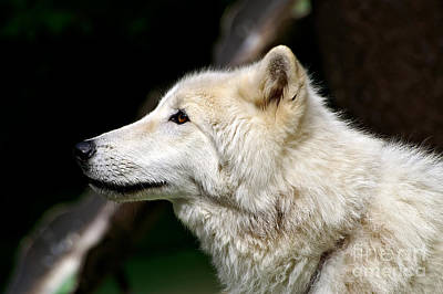 Black. Arctic Wolf Photograph - White Wolf by Michael Kirsh