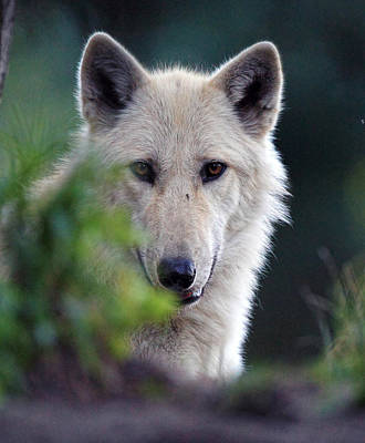 Wolve Photograph - White Wolve by Ray Morris