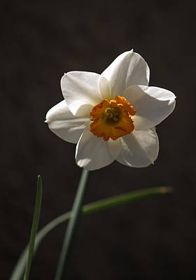 White Yellow Daffodil Art Print