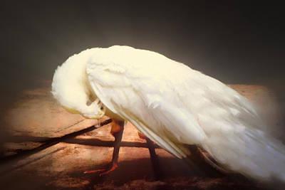 Photograph - White Young Peacock by Georgiana Romanovna