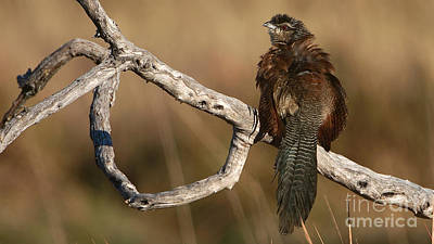 Photograph - Whitebrowed Coucal by Mareko Marciniak