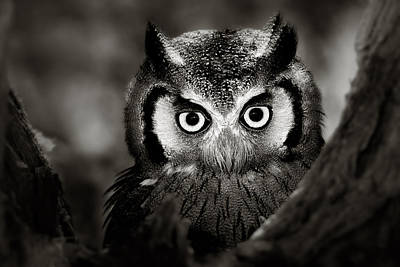 Ears Photograph - Whitefaced Owl by Johan Swanepoel