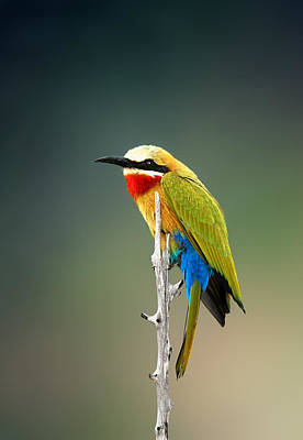 Sat Photograph - Whitefronted Bee-eater by Johan Swanepoel