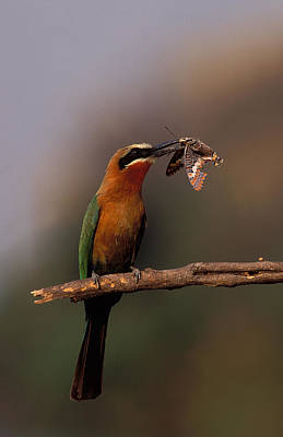 Butterfly Prey Photograph - Whitefronted Bee-eater With Butterfly by Nigel Dennis