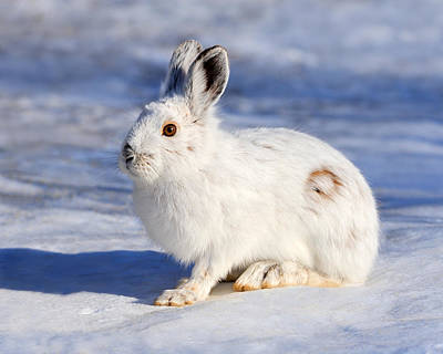 Snowshoe Hare Photograph - Whiter Than Snow by Tony Beck