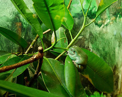 Photograph - White's Tree Frog by Richard Reeve