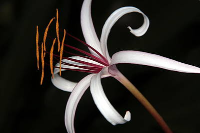 Photograph - White Spider Lily by Greg Allore