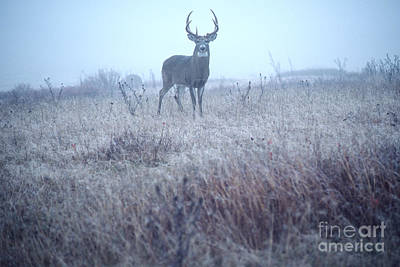 Whitetail Buck In Mist Print by Thomas R Fletcher