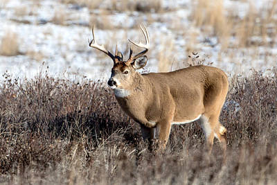 Photograph - Whitetail Buck  by Jack Bell