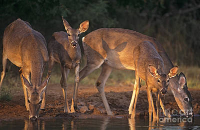 Whitetail Deer At Waterhole Texas Art Print