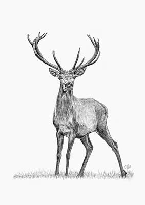 Whitetail Deer Drawing - Whitetail Deer Buck by Iren Faerevaag