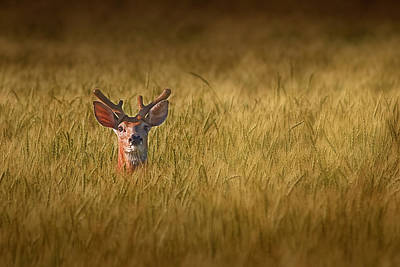 Whitetail Deer In Wheat Field Art Print by Tom Mc Nemar