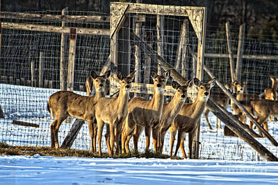Photograph - Whitetail Deer Stare Down by Ms Judi