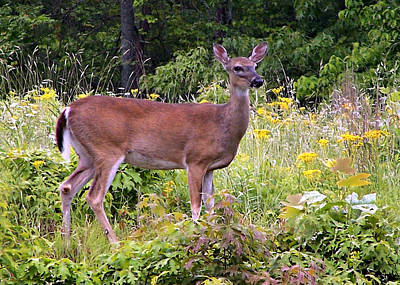 Art Print featuring the photograph Whitetail Deer by William Tanneberger