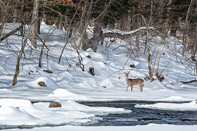 Winter Landscape Photograph - Whitetail Deer Winter by Bill Wakeley