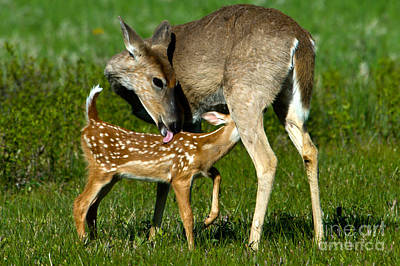 Whitetail Deer With Fawn Art Print by Mark Newman