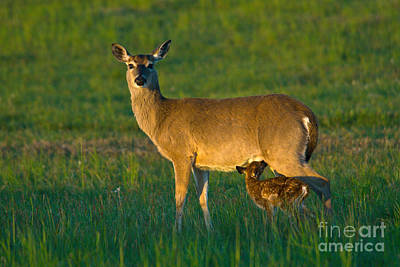Whitetail Deer With Young Art Print