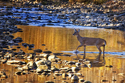 Photograph - Whitetail Doe Crossing The Buffalo National River by Michael Dougherty