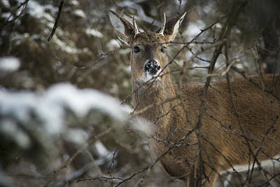 Animals And Earth Photograph - Whitetail In Snow by Garett Gabriel