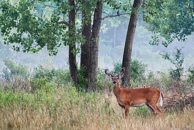 Photograph - Whitetail In Velvet by Dale Kincaid