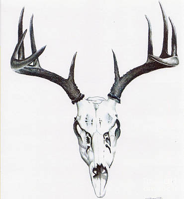 Whitetail Deer Drawing - Whitetail Skull by Elizabeth Moug