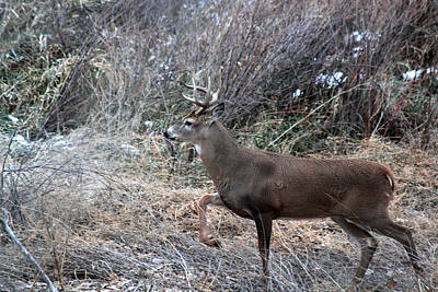 Photograph - Whitetail Stance by Shane Bechler