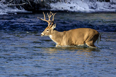 Photograph - Whitetail Water by Jack Bell