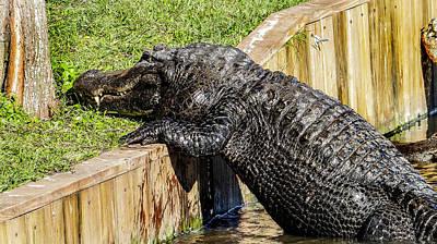 Who Said Gators Can't Climb Print by Dennis Dugan