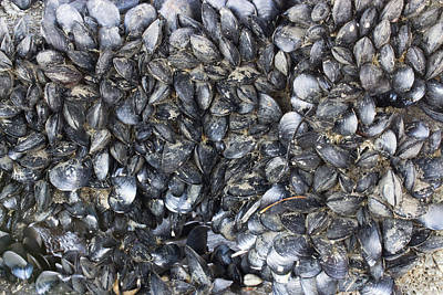 White Steamer Photograph - Whole Lotta Clams by Heidi Smith