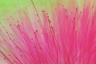 Photograph - Whole Universe. Macro Of The Rain Tree Blossom by Jenny Rainbow