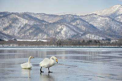 Birds In Snow Wall Art - Photograph - Whooper Swan Cygnus Cygnus In Kussharo by Lucia Terui