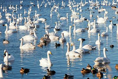 Congregation Photograph - Whooper Swans by Ashley Cooper