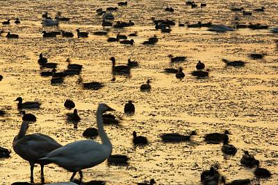 Brash Photograph - Whooper Swans At Martin Mere by Ashley Cooper