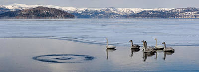 Of Birds Photograph - Whooper Swans Cygnus Cygnus On Frozen by Panoramic Images