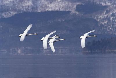 Whooper Swans Flying Hokkaido Japan Art Print by Konrad Wothe
