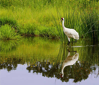 Photograph - Whooping Crane by Barbara Smith